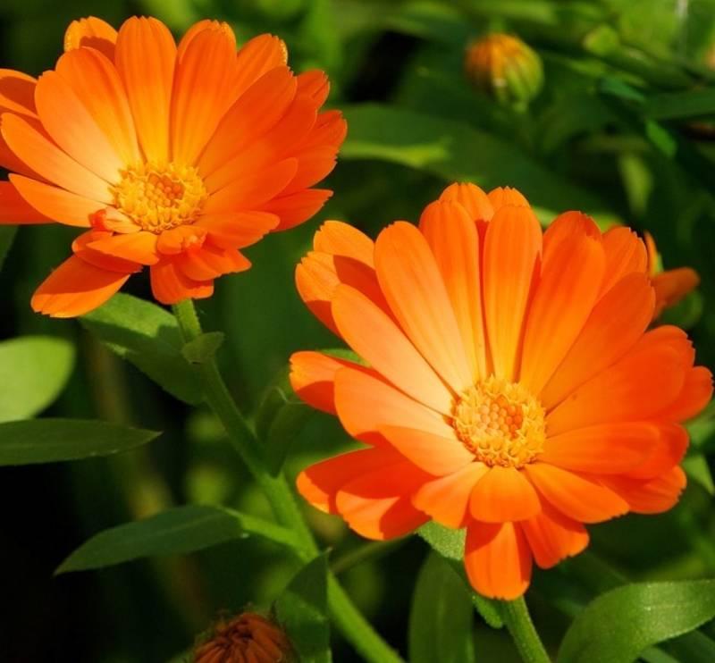 Полезные цветы календулы
